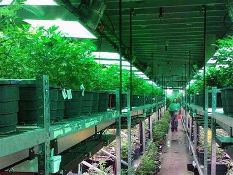bancos de semillas de marihuana bancos de semillas de marihuana