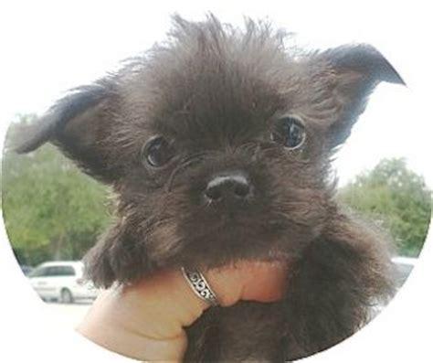 shih tzu rescue orlando miniature pinscher chihuahua mix memes