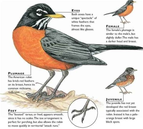 what color is a robin robins the dawg shed