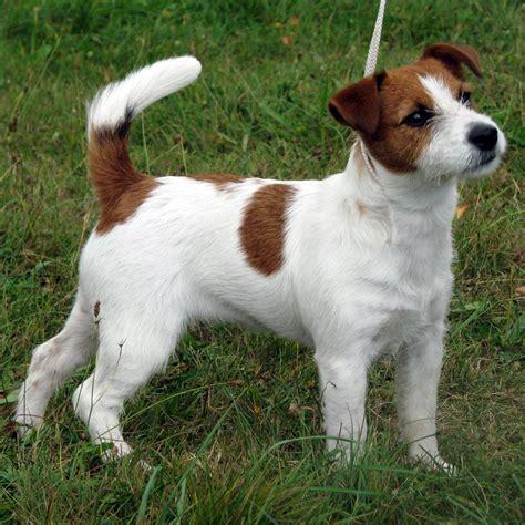 imagenes of jack russell female beata vergine armonia canina jack russell terrier