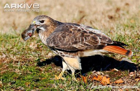 what do cracker beak birds eat tailed hawk photos and facts buteo jamaicensis arkive