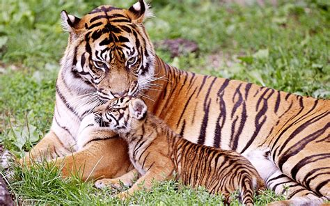 baby tiger with big tiger with images tiger seating with baby cub animal hd wallpapers hd