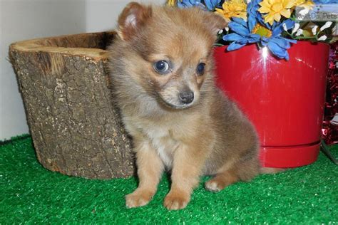 teacup pomchi puppies for sale pomchi breeds picture