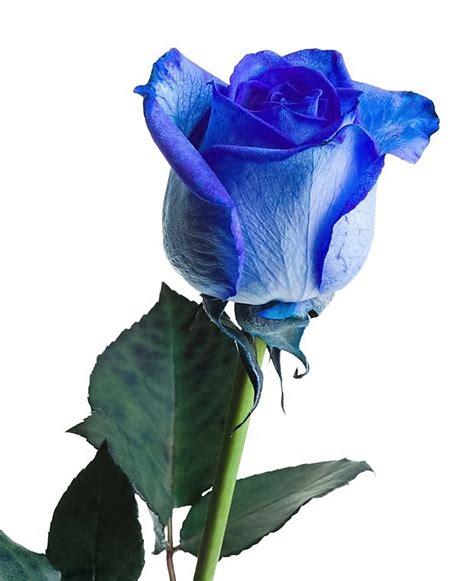 imagenes de rosas blancas naturales sant jordi y el significado de las rosas de colores
