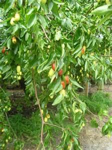tree planting resume tigertooth jujube tree