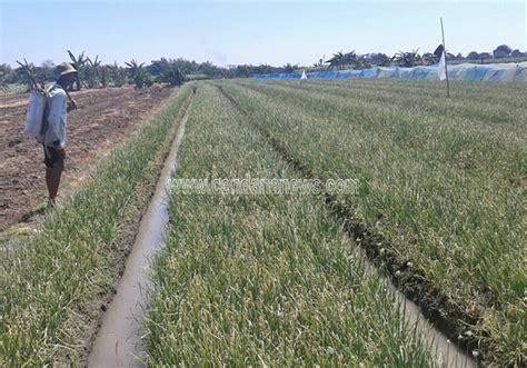 realisasi produksi bawang merah petani kulon progo