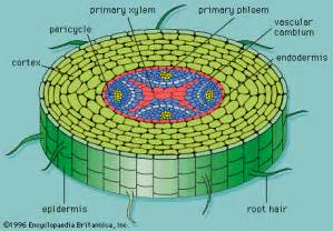 primary xylem flowering plant root structure