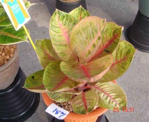 Tanaman Aglaonema Heng Heng Aglonema Hengheng aglonema aglaonema evergreen and plants