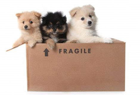 moving puppy ensuring a stress free relocation move basics