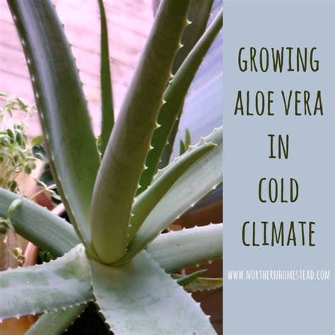 growing aloe vera in cold climate northern homestead