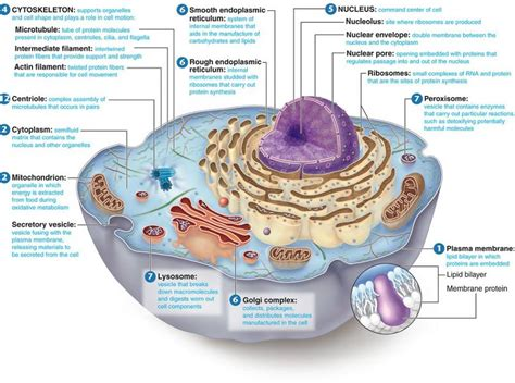 labeled cell diagram animal cell labeled 6 animal cell labeled biological