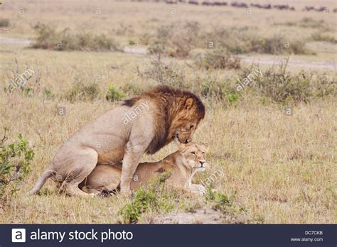 african animals mating videos african lions mating stock photo royalty free image
