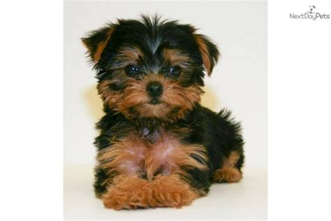 boy yorkie dogs teacup our yorkie poodog yorkiepoo yorkie poo puppy breeds picture
