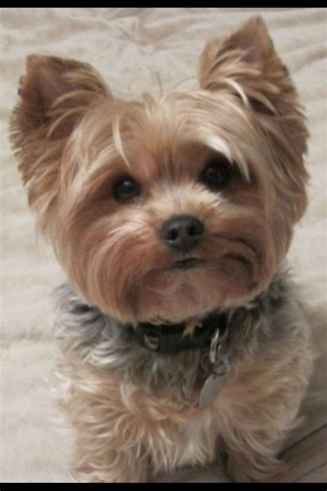 puppy shichon haircuts the 25 best yorkie teddy bear cut ideas on pinterest