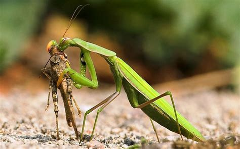 mantis praying mantis more facts