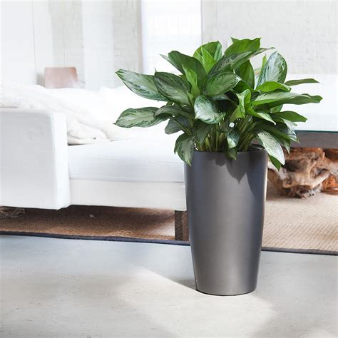 aglaonema silverado plant  elegant rondo planter