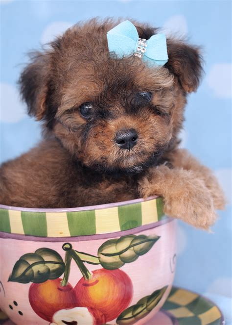 puppies south florida poodle 014 teacups puppies boutique