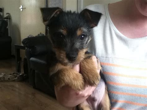 chihuahua yorkie terrier mix chorkie pups terrier x chihuahua wigan greater manchester pets4homes