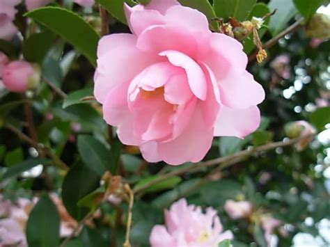 camellia plant care www pixshark com images galleries
