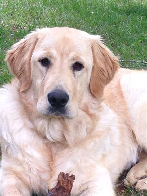 golden retriever pyrenees 17 best images about pets i m getting on australian shepherd path of