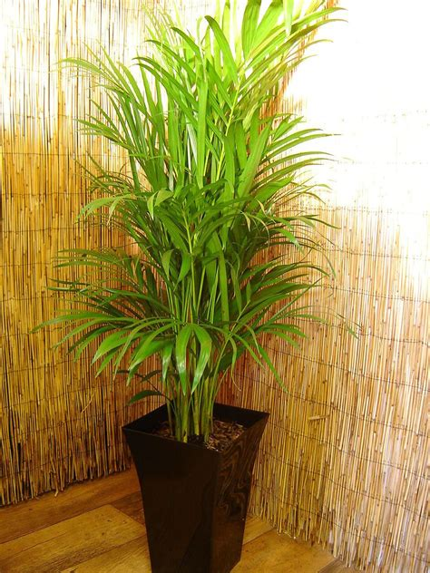 palm chamaedorea elegans evergreen large indoor plant