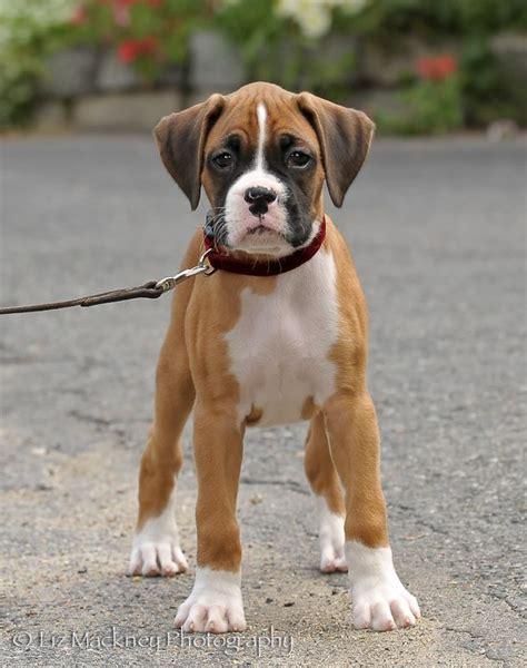 best puppy for baby 25 best ideas about baby boxer puppies on boxer puppies boxer and boxer dogs