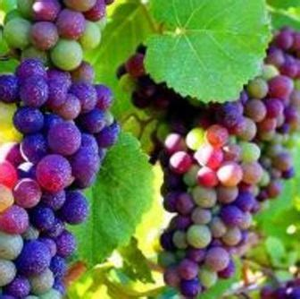 benih anggur mixed warna warni bibit buahku