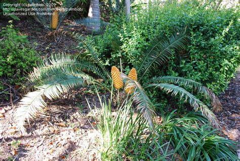 Plantfiles Pictures Cycad Encephalartos Villosus By Palmbob Quail Botanical Gardens