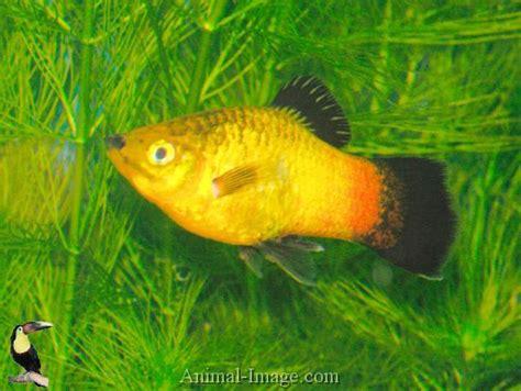 Bearing Golden Fish Platy Varieties