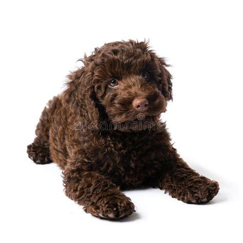 mini doodle nederland labradoodle mini puppy stock foto afbeelding bestaande