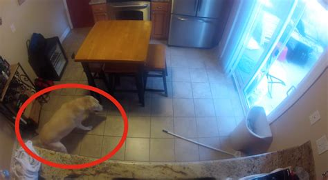 hide cam hidden camera catches dog making a mess in the kitchen