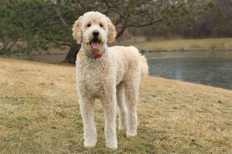 buy goldendoodle puppies 25 best ideas about standard goldendoodle on golden labradoodle golden