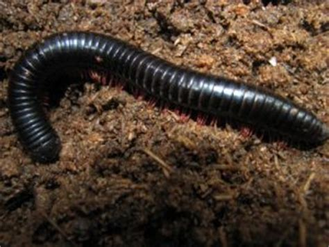 millipedes in bathroom tiny black quot worms quot are actually millipedes all about worms