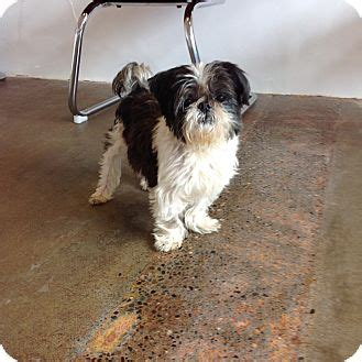 shih tzu seattle seattle wa shih tzu mix meet nolan a for adoption