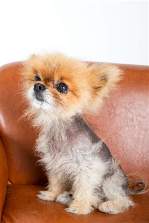 sudden in dogs causes of hair loss in dogs and what to do about it health news
