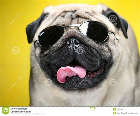 pug with sunglasses pug with sunglasses stock image image of obedient 17800653