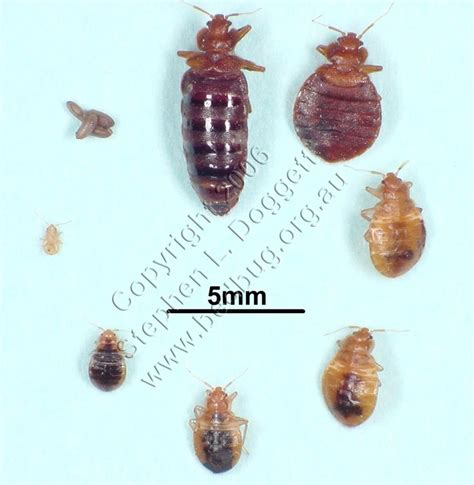 bed bug reproduction 17 best ideas about bed bug remedies on pinterest bed