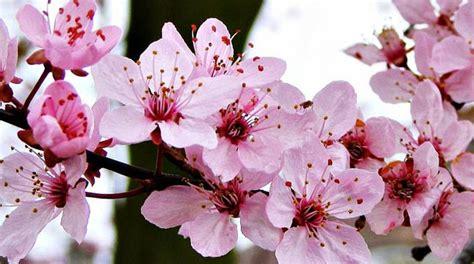 wallpaper daun sakura lipi budidayakan tanaman bunga sakura di kebun raya