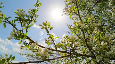 Blossom Shieneng sun shining through blossom apple tree branches slider dolly stock footage 6511757