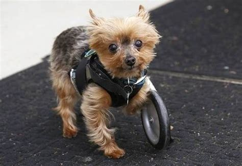 legged yorkie the three legged with wheels named tripod heroes wheels the