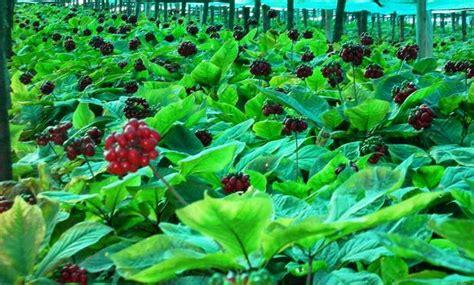 Ginseng Cina ginseng seeds china chang bai mountain plant seeds zhong