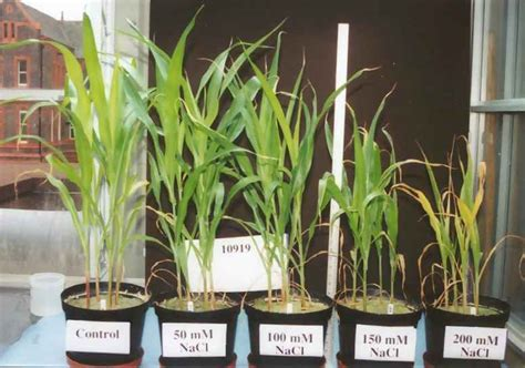 symptoms and solutions plant moisture stress effect of salt stress on plants