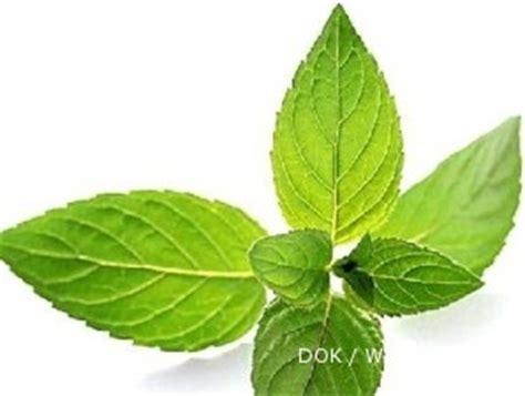Pohon Mint Daun Mint daun mint di dataran tinggi daunnya lebih lebar 2