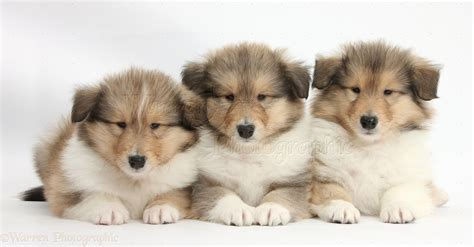 collie dogs dogs three collie pups 7 weeks photo wp38299