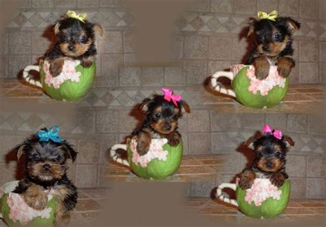 yorkie poo puppies for sale in louisiana miniature yorkie puppies for sale in louisiana website of kuyebarb