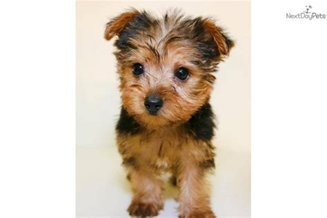 what age is a yorkie puppy grown terrier yorkie puppy for sale near columbus ohio 5b326483 1321