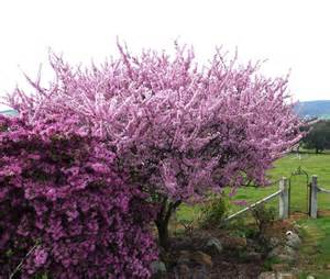 elvins flowering plum 3ft hello hello plants garden