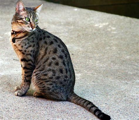 fotos muy bonitas de gatos los gatos m 193 s bonitos del mundo 14 razas de gatos