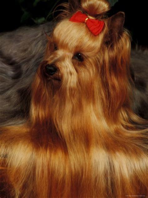 blonde yorkie haircuts 189 best yorkie hairdo images on pinterest yorkies