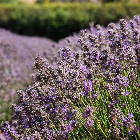 how many varieties of lavender are there 28 images lavender festival announces art contest